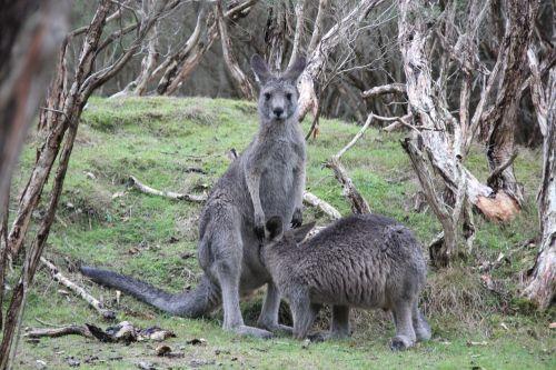 kangaroos marsupial nature