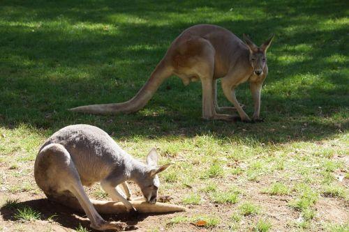 kangaroos couple pre
