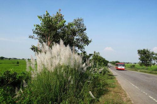 kans grass saccharum spontaneum wild sugarcane