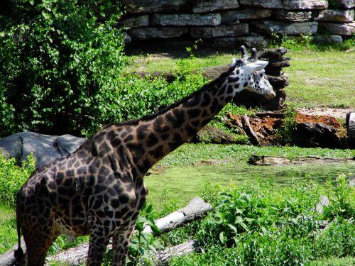 Kansas City Zoo Giraffe