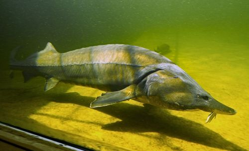 kapitaler sturgeon large aquarium fish