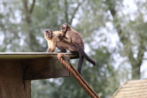 kapucijnaapjes zoo mammal