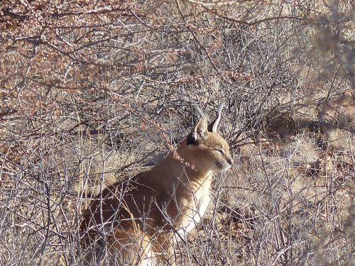karakal wildcat lynx