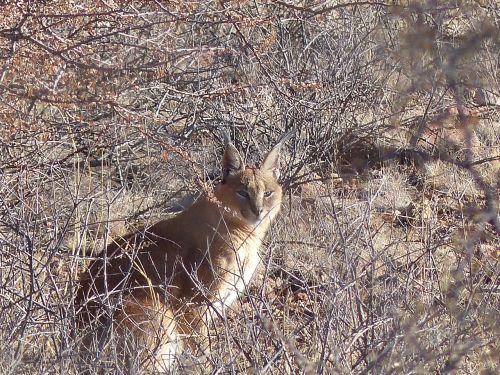 karakal lynx wildcat