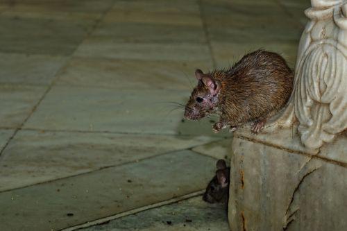 karni-mata-temple rat nature