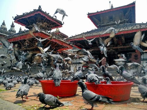 kathmandu nepal birds