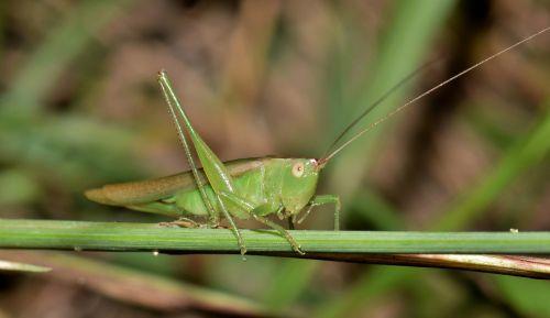 katydid meadow katydid grasshopper