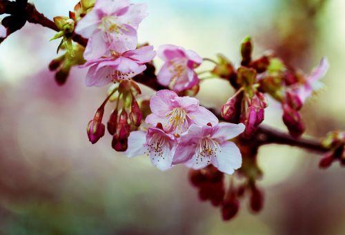 kawazu cherry blossom spring flowers