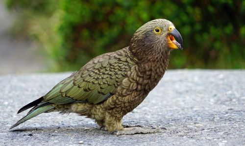 kea mountain parrot cheeky