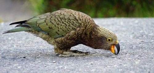 kea mountain parrot new zealand