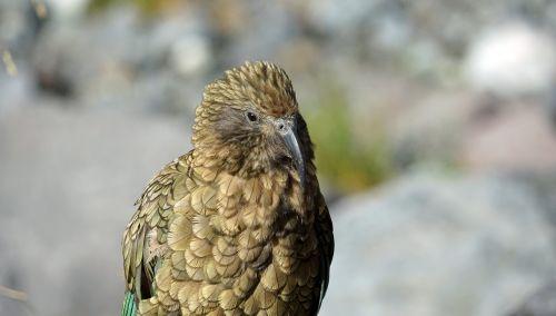 kea head mountain parrot