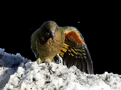 kea new zealand bird