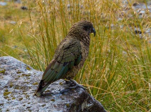 kea  bird  nature