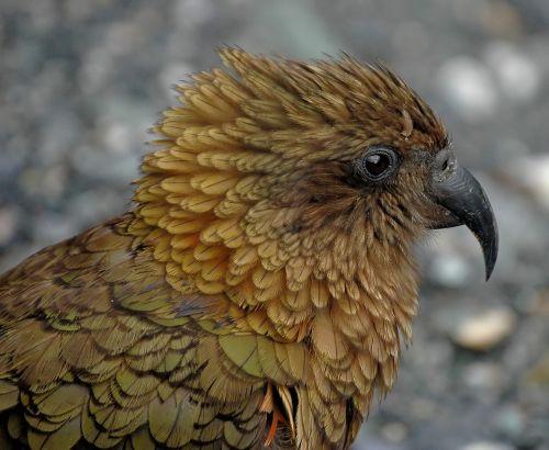kea new zealand parrot