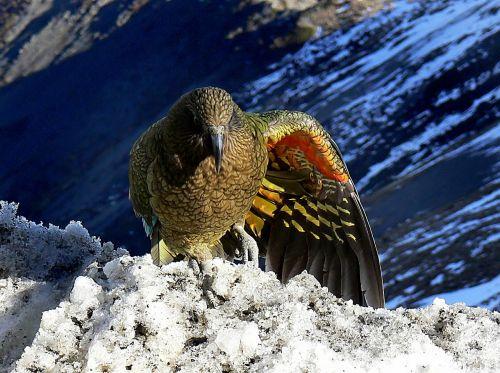 kea bird parrot
