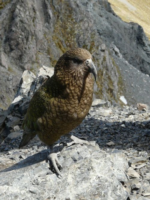 kea parrot new zealand travel