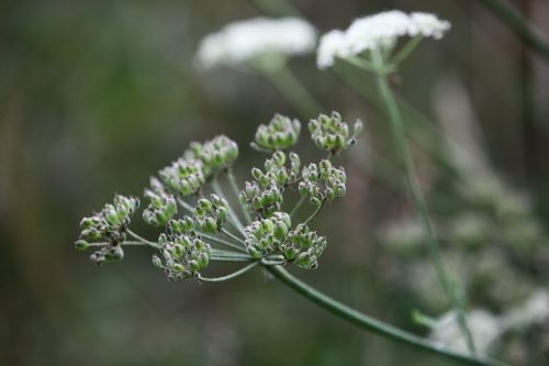 keck cow parsley wild chervil
