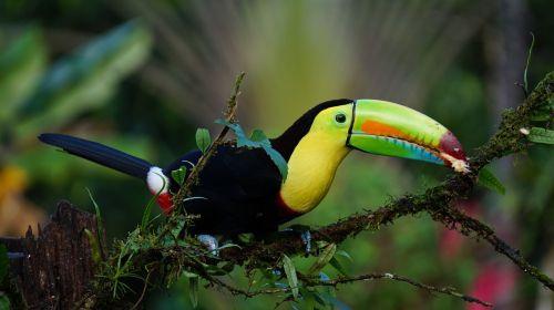 keel billed toucan costa rica bird