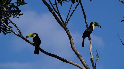 keel billed toucan jungle costa rica