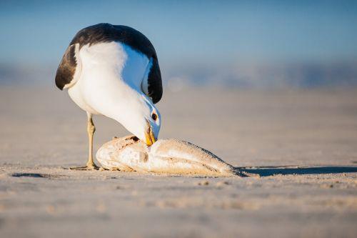 kelp gull feeding on a fish portrait seabird