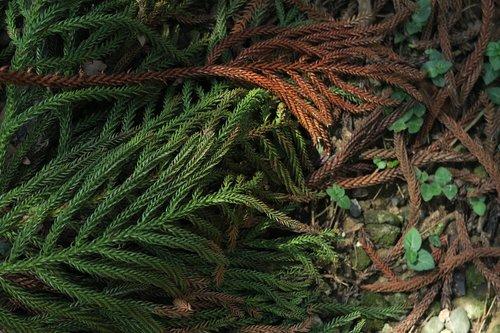 ken's araucaria  fir  tree