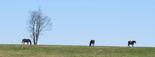 Kentucky Thoroughbred Horses Grazin