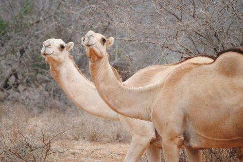 kenya africa camels