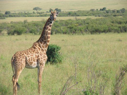 kenya giraffe maasai-mara