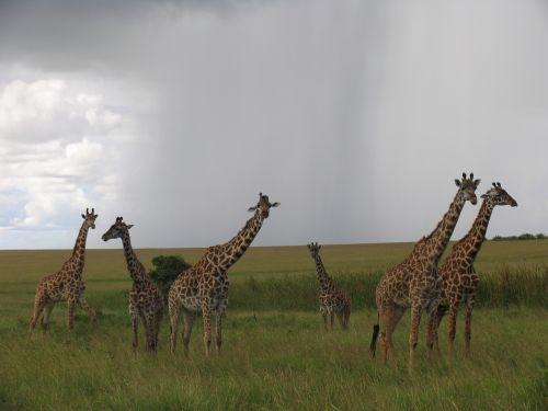 kenya maasai-mara giraffes