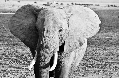 kenya elephant amboseli