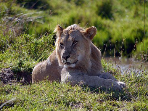 kenya, liūtas, leo, mara