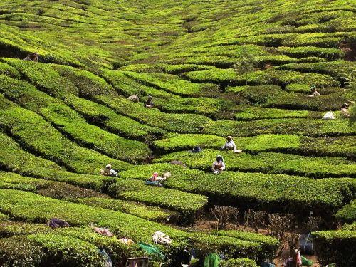 kerala india tea planters