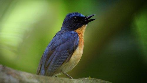 kerala  india  tickell's blue flycatcher