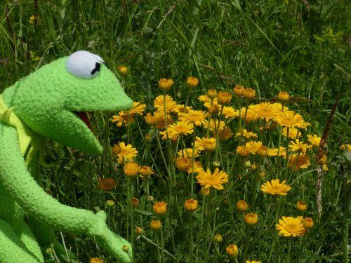 kermit,varlė,Žiūrėti,grožėtis,gražus,gėlės,žydėti,geltona,laukinės gėlės,laukinis augalas,anthemis tinctoria,cota tinctoria,dyer hundskamille,kompozitai,asteraceae,faerberpflanze,gėlių krepšelis,aukso geltona,liežuvis,vamzdinės gėlės,aštraus gėlė