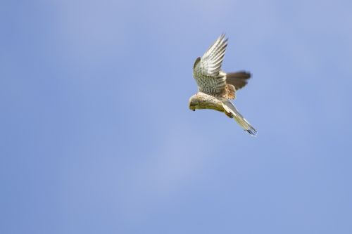 kestrel falcon vibrating flight