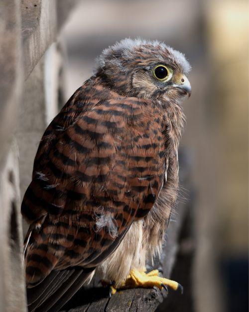 kestrel bird of prey bird