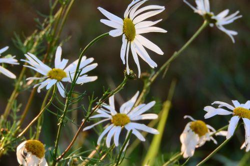 raktažodžiai fotomontáž,baltos gėlės,pievos gėlės,žydėjimas,balta gėlė