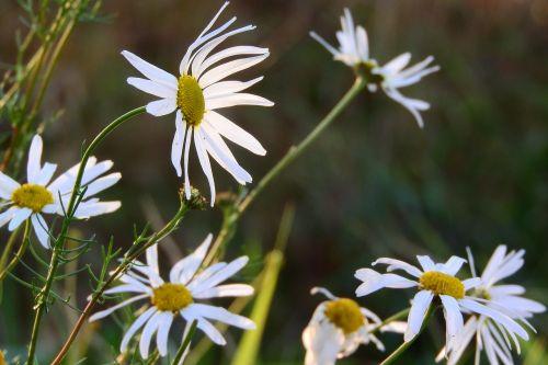 raktažodžiai fotomontáž,baltos gėlės,pieva,pievos gėlės,Daisy