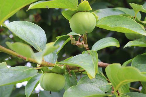 khaki unripe persimmons autumn fruits