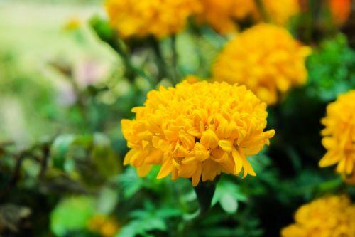 khmer flower asia
