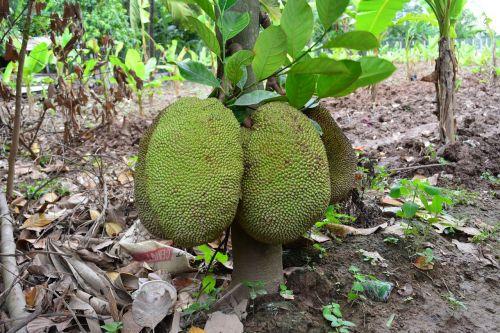 khmer jack fruit cambodia jack fruit khmer fruit
