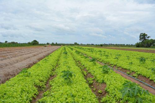 khmer vegetable khmer lettuce cambodian