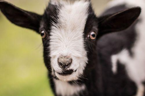 kid goat baby