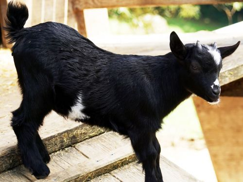 kid young goat goat