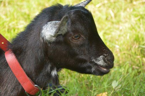 kid baby goat head profile
