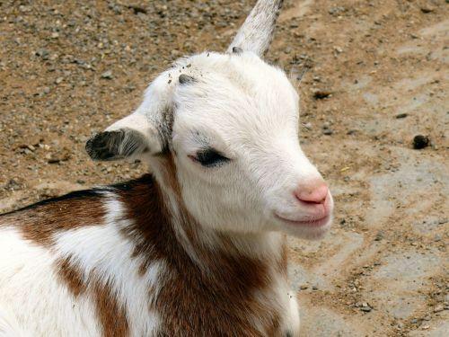 kid goat domestic goat