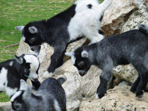 kid goats goats kid
