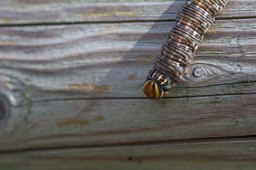 kiefernschwaermer caterpillar sphinx pinastri