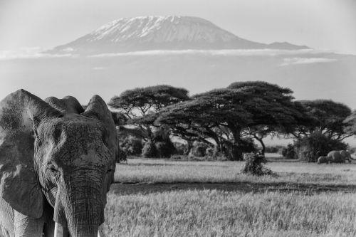 kilimanjaro africa african bush elephant