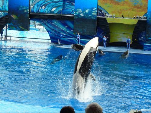 killer whale orca whale